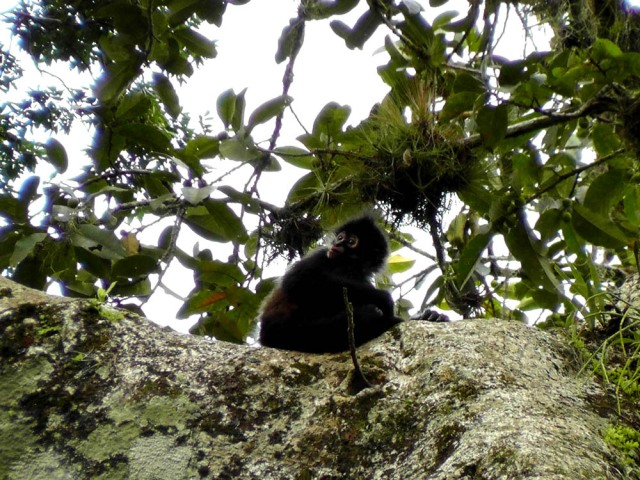 Fuzzy little baby spider monkey all alone in the crook of a branch, tikal, guatemala