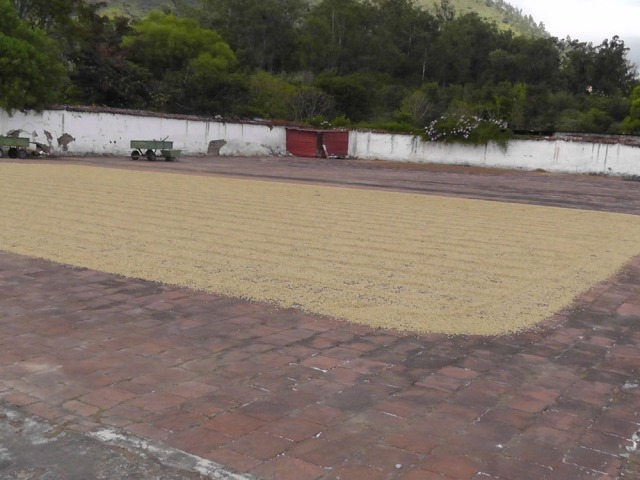 Coffee beans drying in the sun.