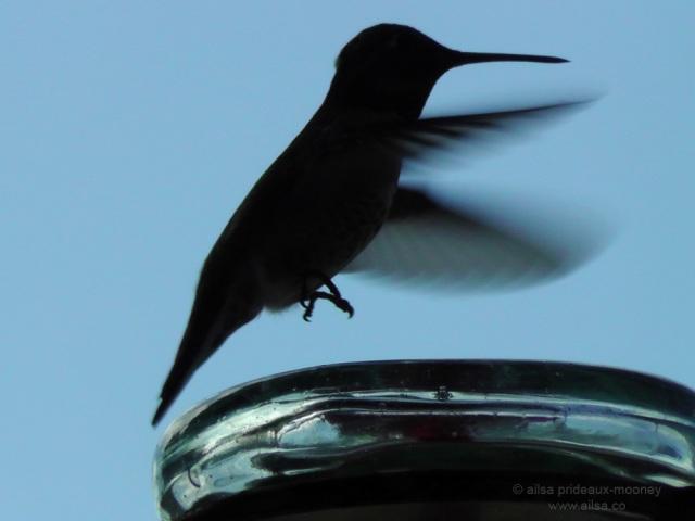 hummingbird blue calfornia