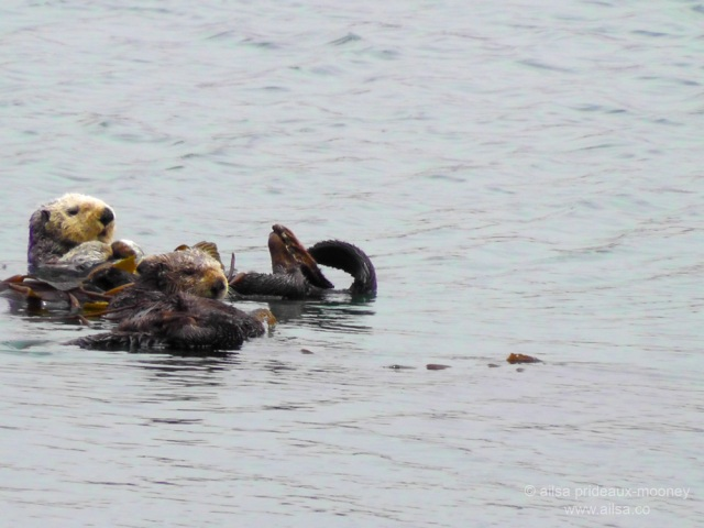 world ocean day marine life sea otters california