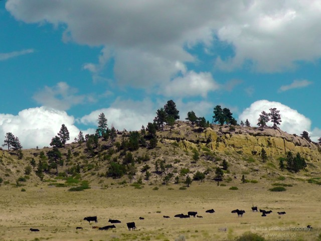 us road trip north dakota badlands black cows usa america driving