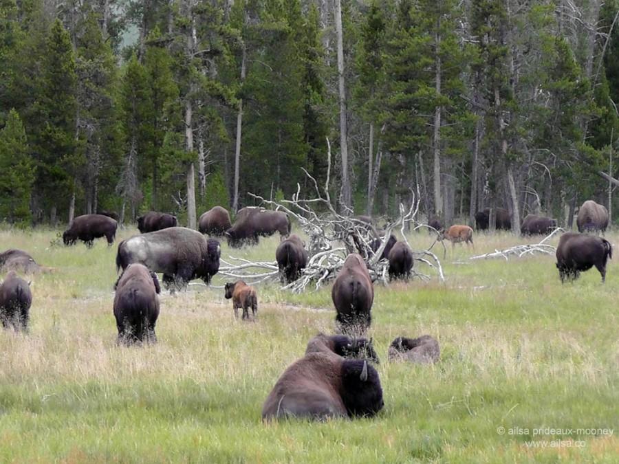 US road trip USA America montana wyoming yellowstone beartooth highway pass buffalo bison