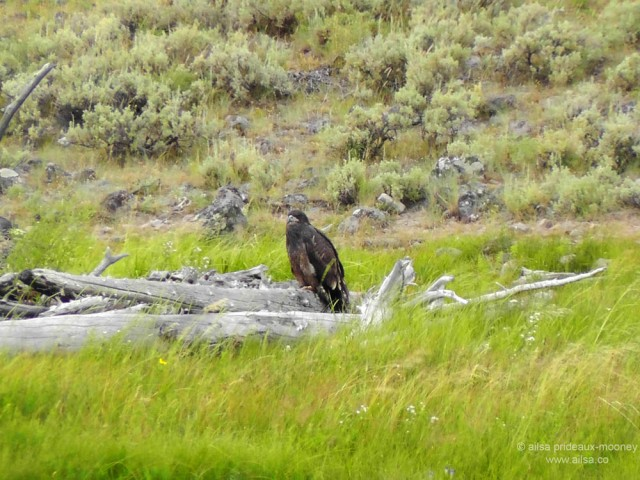 US road trip USA America montana wyoming yellowstone beartooth highway pass golden eagle