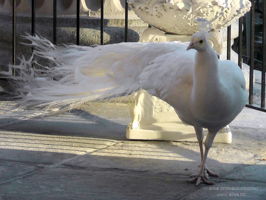white peacock albino snowy balcony new york st john the divine manhattan
