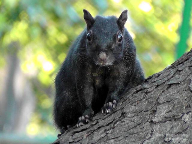 black squirrel van cortland park