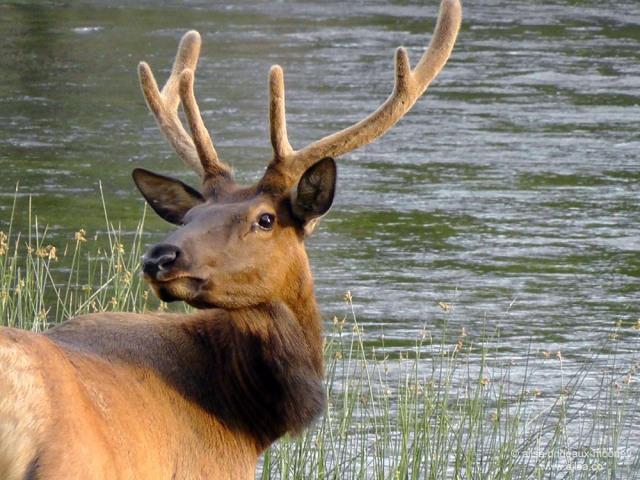 elk yellowstone national park wyoming world animal day