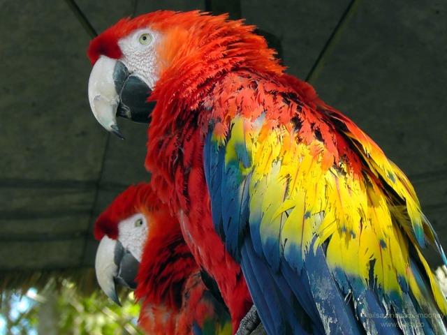 parrots antigua guatemala casa santo domingo