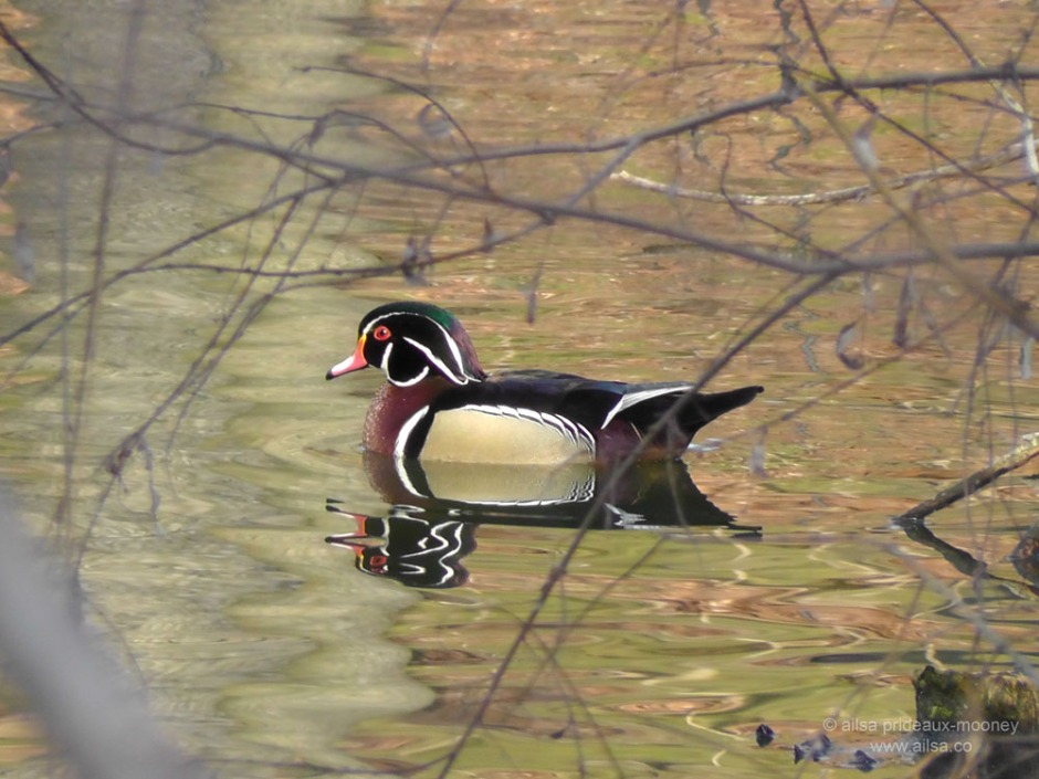 wood duck, central park, new york, travel, travelogue, ailsa prideaux-mooney