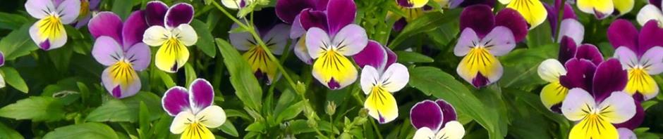 brooklyn botanic gardens new york pansies travel