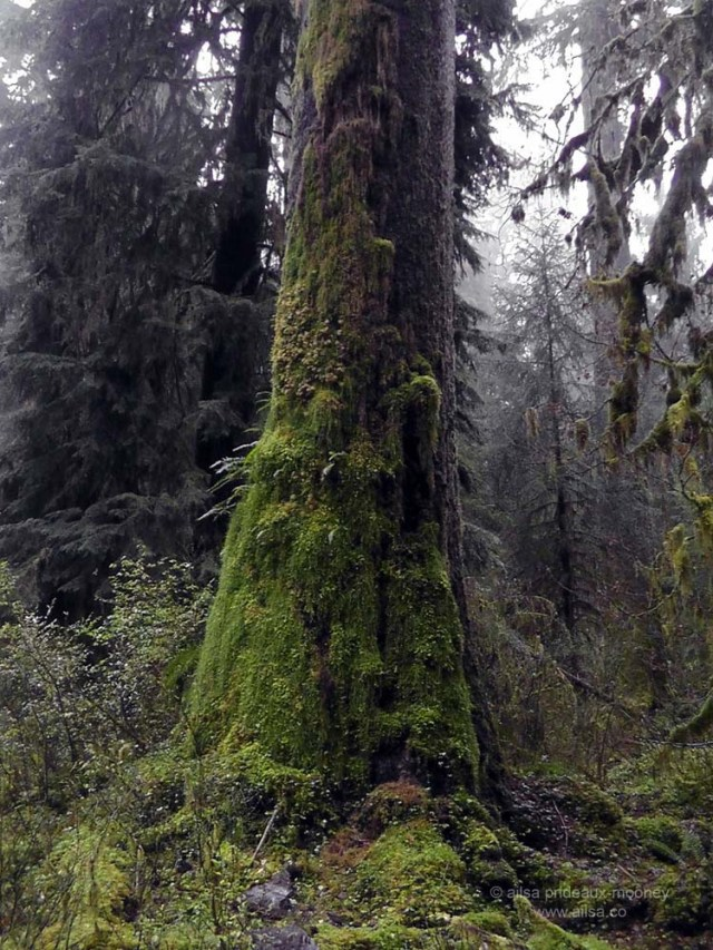 foggy rain forest hoh olympic penninsula washington hall mosses america us usa