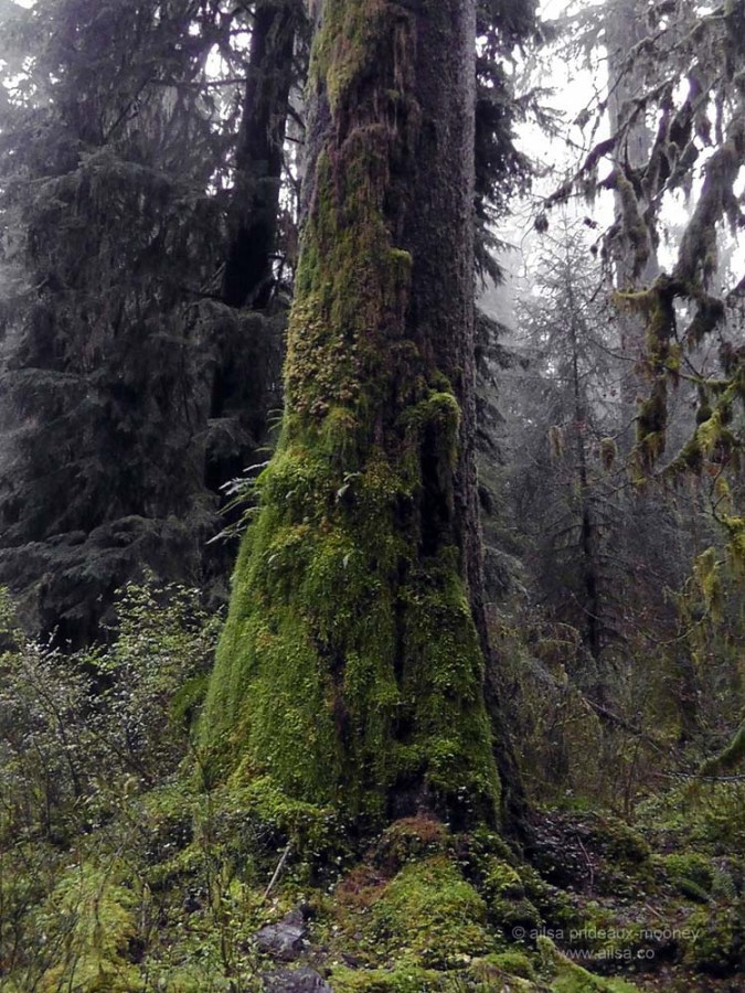 foggy rain forest hoh olympic penninsula washington hall mosses america us usa