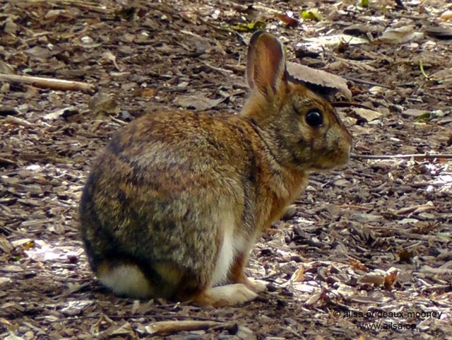 wild bunny rabbit queens park new york alley pond