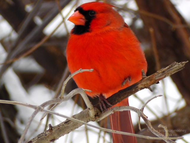 red cardinal central park new york snow manhattan