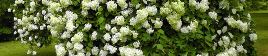 vintage hydrangea white pale flower floral full bloom