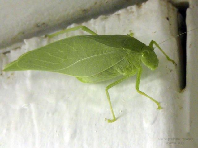 grasshopper katydid utah us usa america road trip