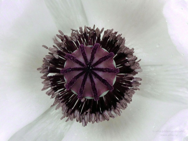 white poppy floral macro closeup