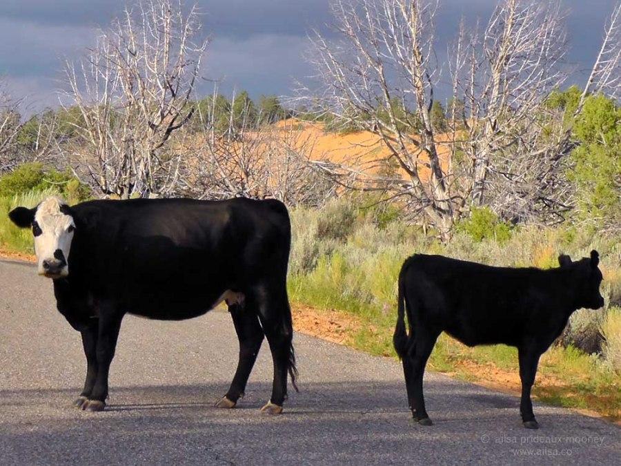 black cows coral pink sand dunes utah state park road trip