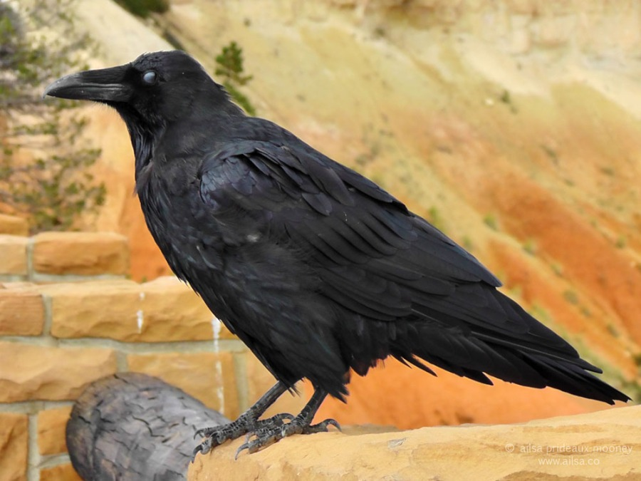 raven bryce canyon national park utah road trip