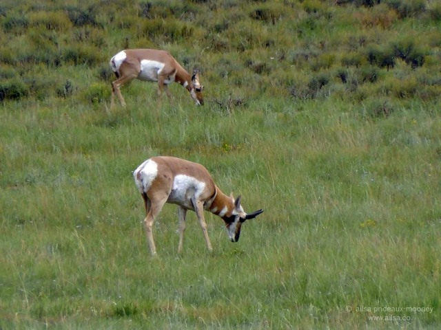 pronghorn pronghorned antelope bryce national park utah
