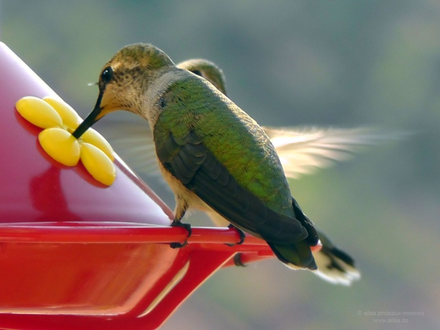 hummingbirds kanab utah road trip