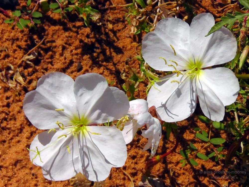 White Desert Flowers Wheres My Backpack