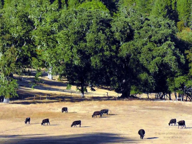 cows grazing hills shadows california travel