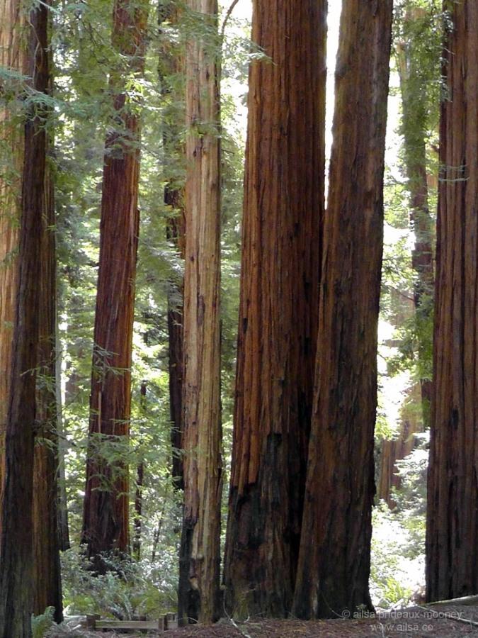 humboldt forest state park redwoods california