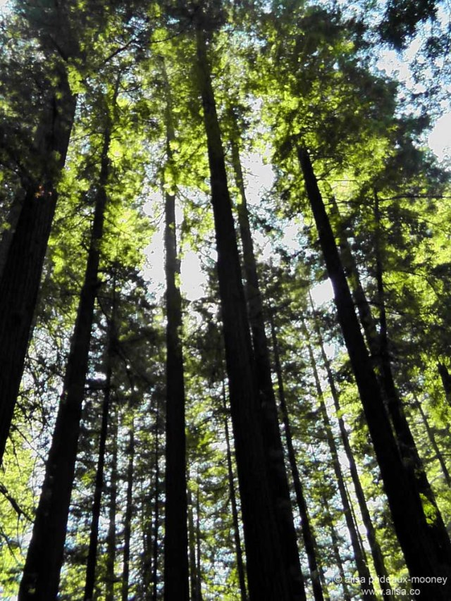 humboldt forest state park redwoods california