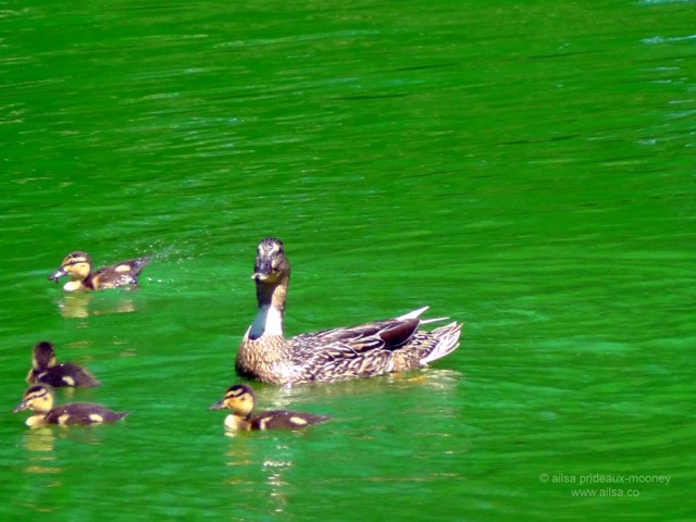 swan, hamptons, the hamptons, east hampton, town pond, travel, usa, new york, long island, green dye, travel, ducks