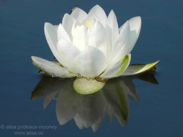 white water lily international women's day