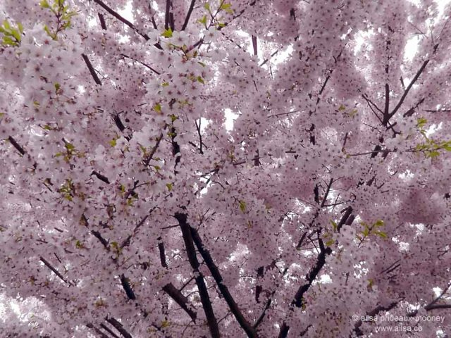 cherry blossom, seattle, travel, travel photography, ailsa prideaux-mooney