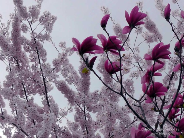 cherry blossom, seattle, travel, travel photography, tulip tree, ailsa prideaux-mooney