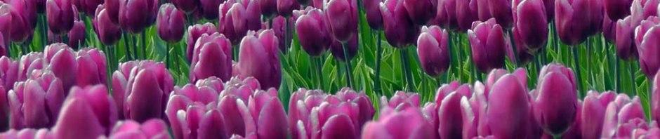 skagit valley, tulip festival, tulips, flowers, nature, travel, photography, ailsa prideaux-mooney, washington tulip festival