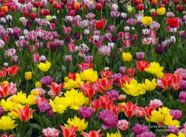 skagit valley, tulip festival, tulips, flowers, nature, travel, photography, ailsa prideaux-mooney, washington tulip festival