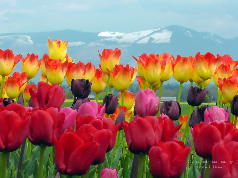 Skagit Valley Tulip Festival Where S My Backpack