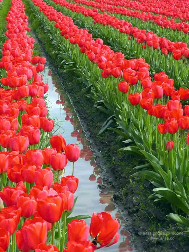 skagit valley, tulip festival, tulips, flowers, nature, travel, photography, ailsa prideaux-mooney, washington tulip festival, roozengaarde