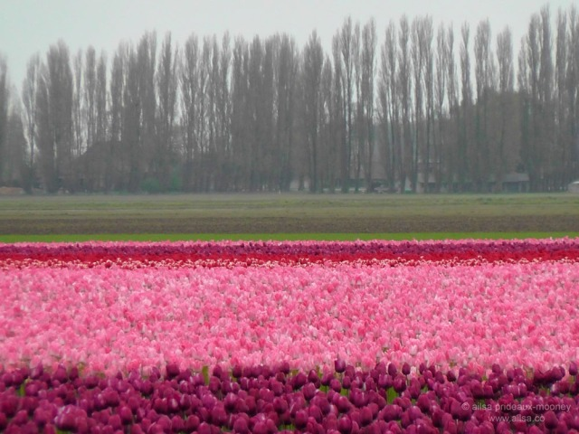 skagit valley tulip festival, la connor, tulip festival, mount vernon, seattle, washington, ailsa prideaux-mooney, travel, photography