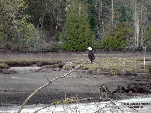 bald eagle, nisqually national wildlife reserve, olympia, seattle, washington, travel, photography, ailsa prideaux-mooney