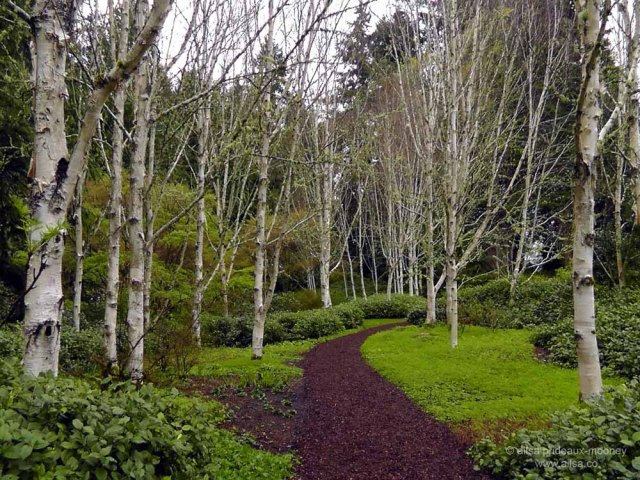 bloedel reserve, seattle, bainbridge island, garden, gardens, rain, travel, travelogue, ailsa prideaux-mooney, birch forest