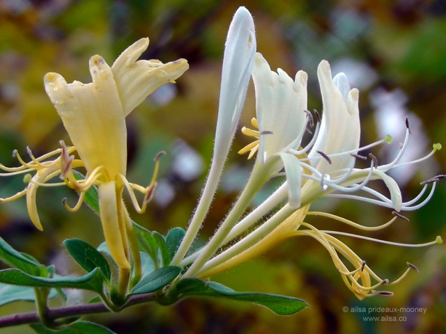 new york, honeysuckle, nature, flowers, travel, photography, ailsa prideaux-mooney