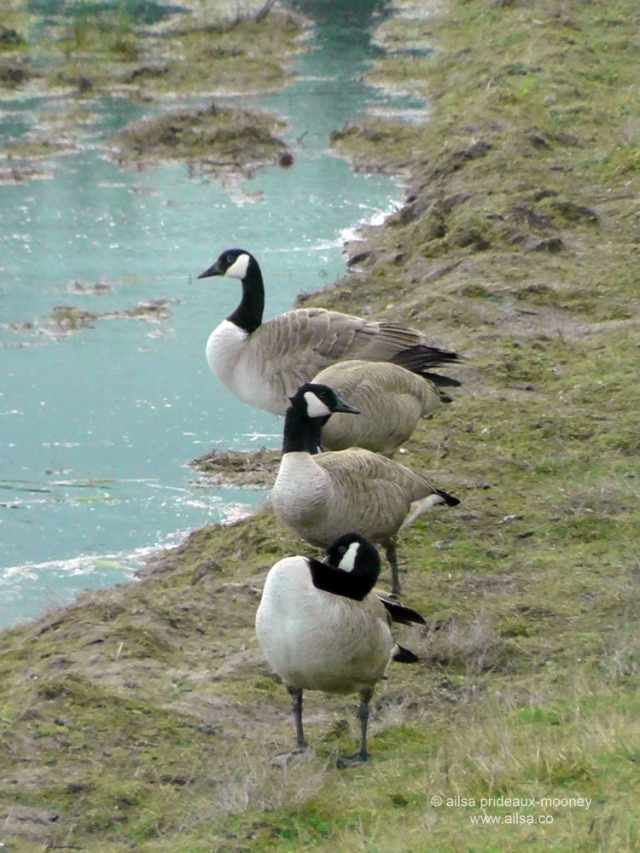 canadian geese, nisqually national wildlife reserve, olympia, seattle, washington, travel, photography, ailsa prideaux-mooney