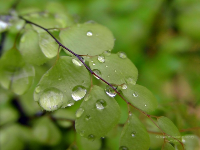 bloedel reserve, seattle, bainbridge island, garden, gardens, rain, travel, travelogue, ailsa prideaux-mooney, raindrop photography