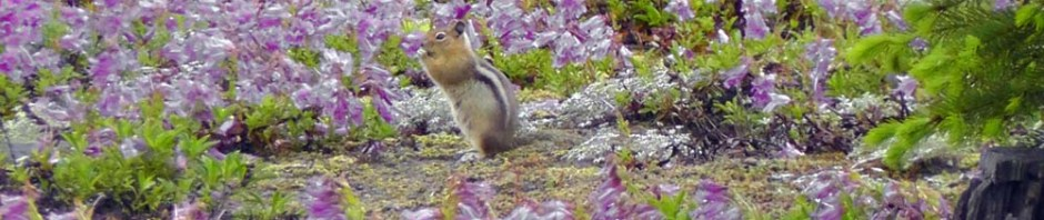 mt st helens, wildflowers, lava flow, ground squirrel, travel, nature, wildlife, photography, ailsa prideaux-mooney