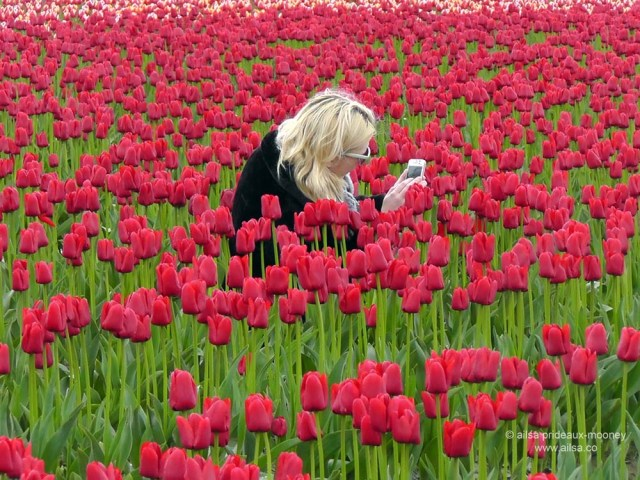 skagit valley tulip festival, washington, usa, america, travel, travelogue, photography, nature, flowers, floral, ailsa prideaux-mooney