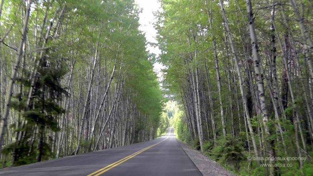 birch, aster, washington, travel. travelogue, photography, white pass scenic byway, ailsa prideaux-mooney