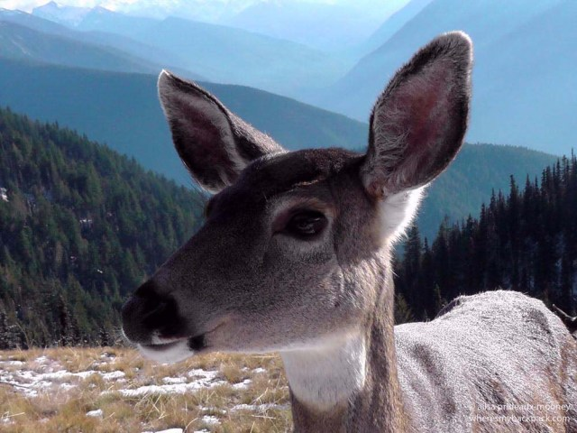 black-tailed deer, olympic mountains, washington state, wildlife, olympic peninsula, hurricane ridge, travel, travelogue, photography, ailsa prideaux-mooney