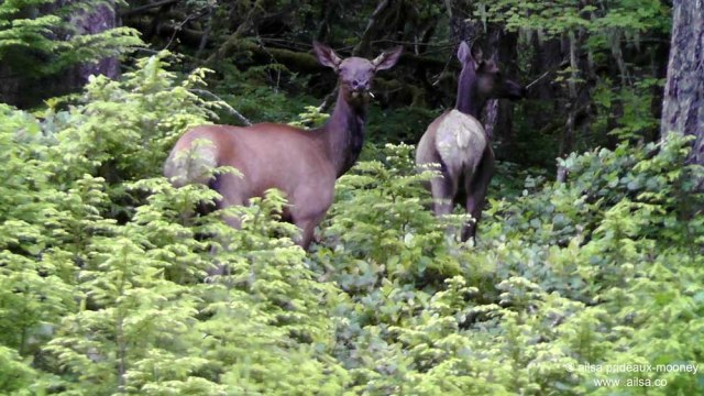 elk, mount rainier national park, travel, travelogue, ailsa prideaux-mooney, photography