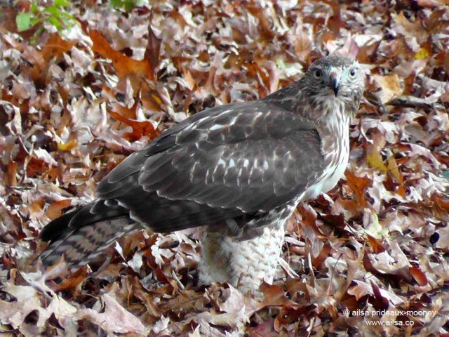 hawk, van cortland park, new york, manhattan, travel, travelogue, ailsa prideaux-mooney
