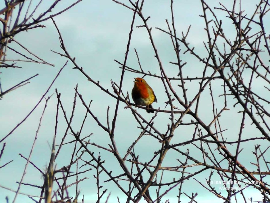 robin, winter, Erithacus rubecula, ireland, dublin, travel, bird, travelogue, ailsa prideaux-mooney, photography,