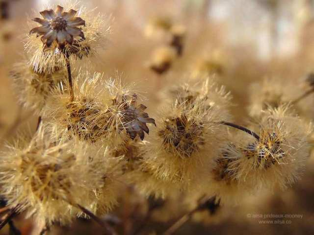 seedhead, piet oudolf, battery park, new york, travel, photography, travelogue, ailsa prideaux-mooney